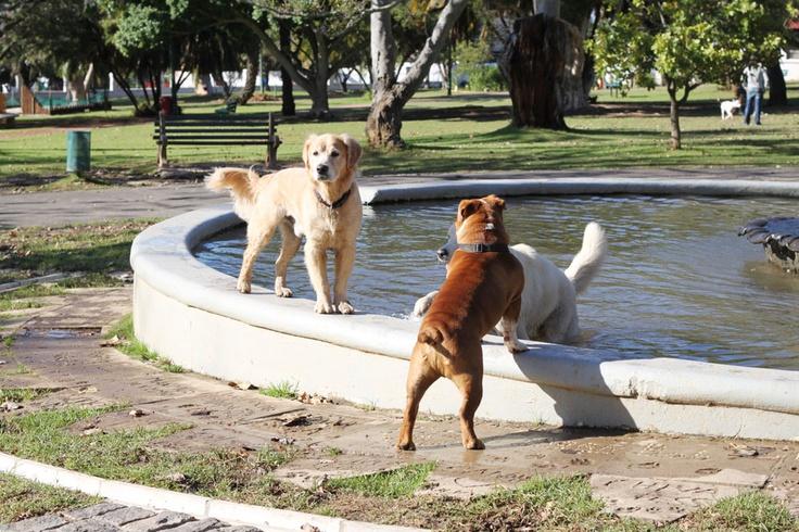 My beautiful bulldog #bulldog #englishbulldog De Waal Park in cape town. Dog friendly park in cape town