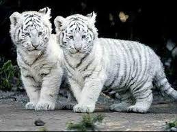 Картинки по запросу imagenes de tigres