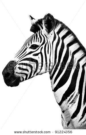Black and White Zebra portrait by ByBethy, via ShutterStock