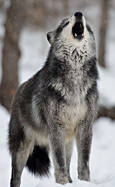 Ummm, that's like the real-life version of my stuffed wolf, Dusk.  Don't judge me. I hear you, judging me in your head!