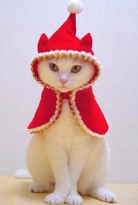 Silly Cat Pictures: christmas cats