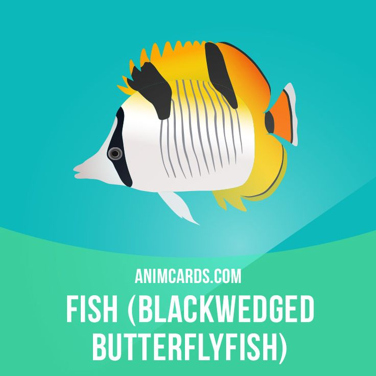 The blackwedged butterflyfish is a species of butterflyfish. It is found in the Indian Ocean, from eastern Africa south to 27°S and east to Indonesia.  Want to learn English? Choose your topic here: learzing.com  #english #englishlanguage #learnenglish #studyenglish #language #vocabulary #dictionary #englishlearning #vocab #animals #blackwedgedbutterflyfish #fish #butterflyfish