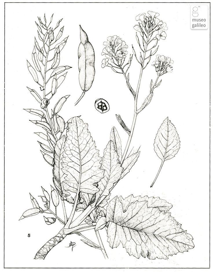 Il disegno botanico contemporaneo in Italia - Brassica macrocarpa (Crocifere).