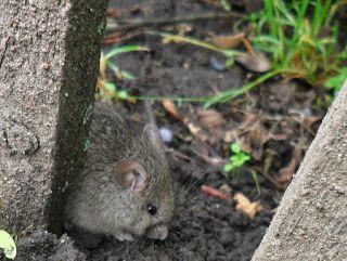 Вкусный Огород: Защита от мышей