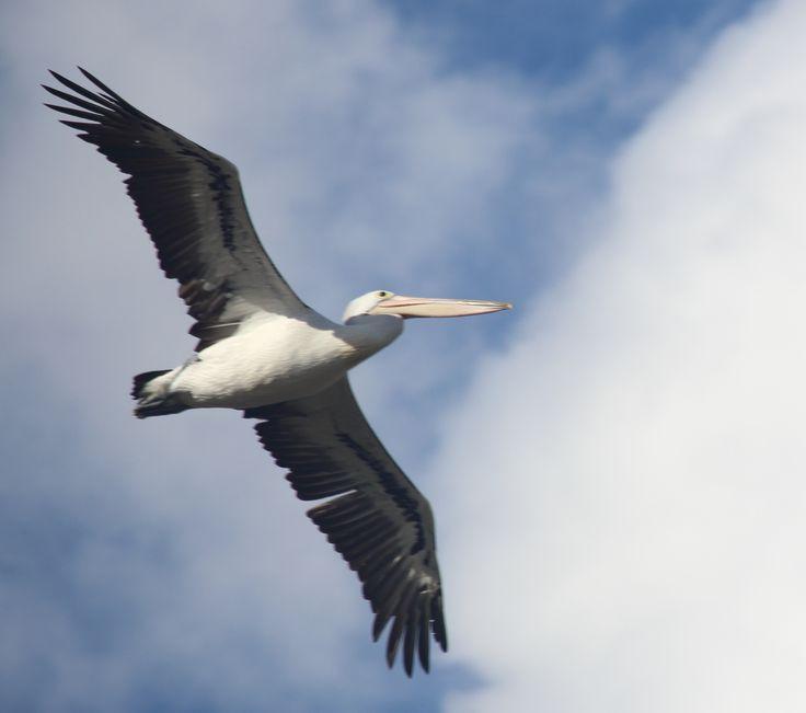 Pelicans in flight look so graceful.  When they're on the ground? Not so much. 😂 #pelican #birds #bird #birdsofinstagram #aussiewildlife #natureporn #aussie #naturehippys #nature #naturelife #naturelove