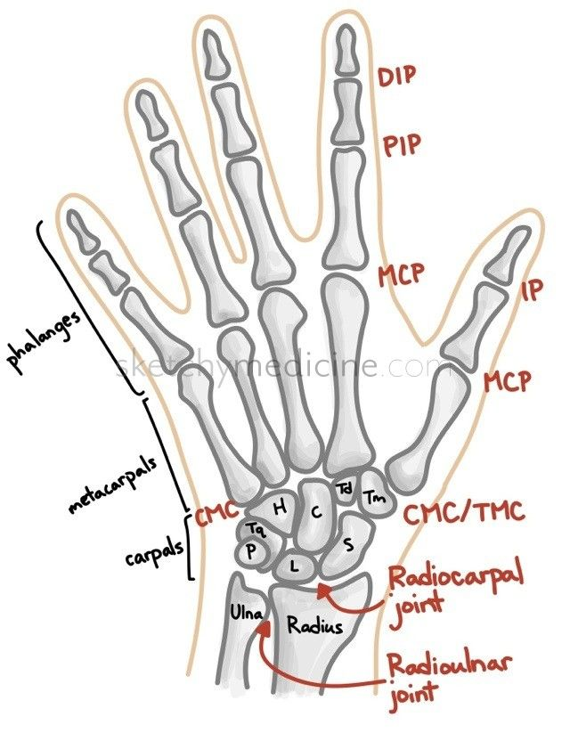 Bones And Joints Of The Hand And Wrist Athletic Training