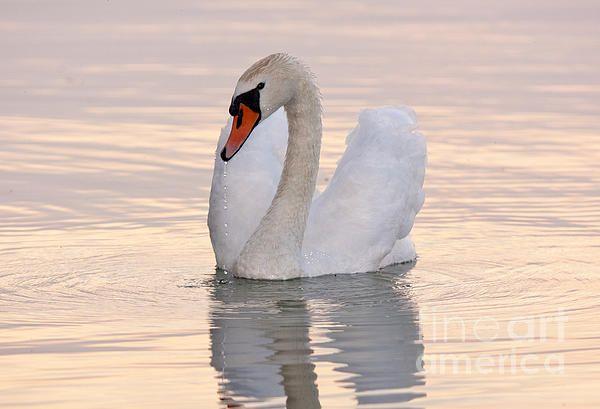 Swan In Love