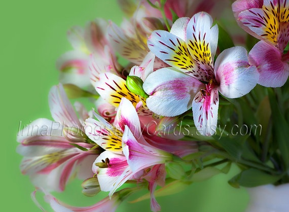 Pink and green alstroemeria flower fine art photography http://www.etsy.com/listing/90835137/photo-note-card-blank-card-greeting-card #flower #astroemeria #home_decor #decor #photography #pink #green #dreamy