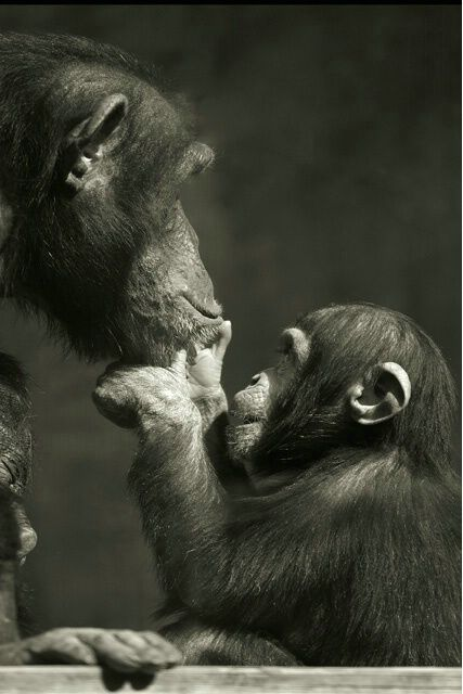 Adoration, I love and adore chimps, leave them in nature, not for pets or experimentation. LOVE!