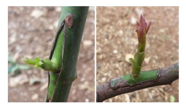 Dicas para enxertar árvores de fruto de forma fácil e na altura certa - http://www.dicasedecoracao.net/dicas-para-enxertar-arvores-de-fruto-de-forma-facil-e-na-altura-certa/