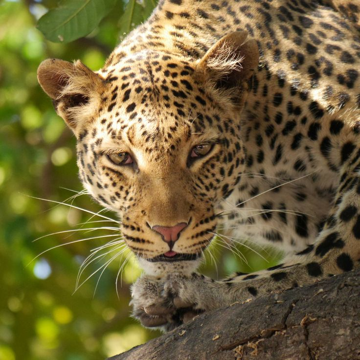 The leopard is the most elusive of all the cats. They are extremely difficult to locate and track in the wild.