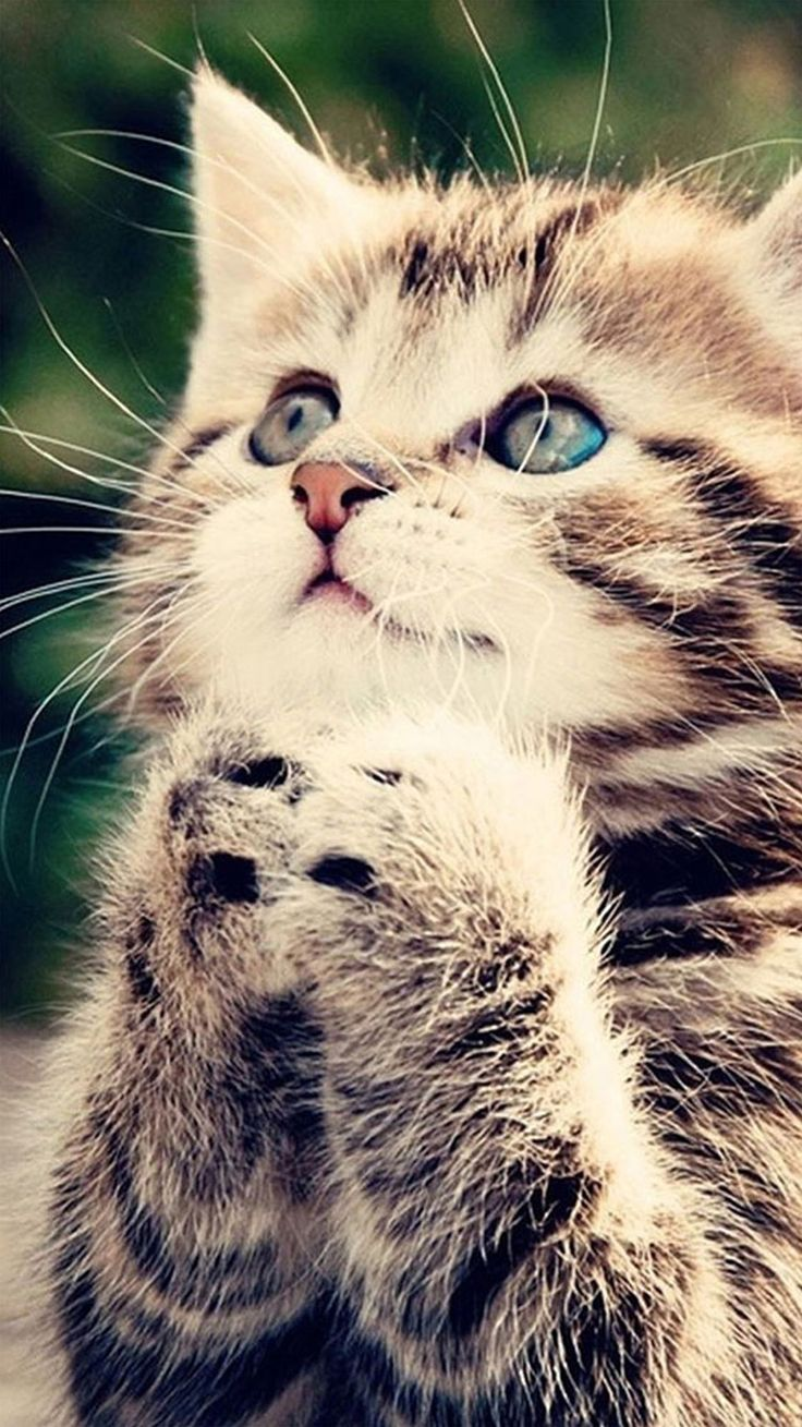 ↑↑TAP AND GET THE FREE APP! Animals Fun For Girls Cat Little Catty Cute Pretty Girly Gray Cool Prayer HD iPhone 6 Wallpaper