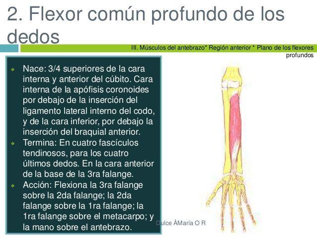 Músculos Y Huesos Del Miembro Superior Primer Punto Fijo R 11