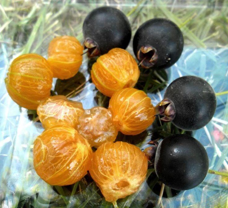 Guabiju ~ Myrcianthes pungens