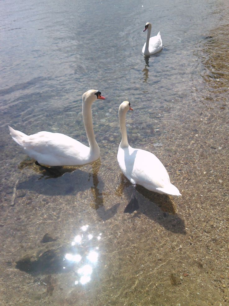 The swans that swim with us every summer in porto rafti, greece