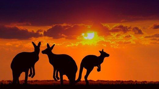 Kangaroos in the sunset - Australia - KILROY #beautiful #world #travel
