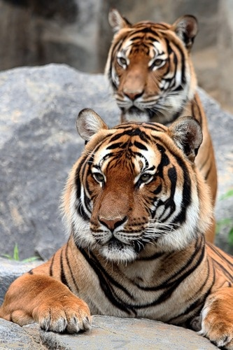 Two majestic tigers!