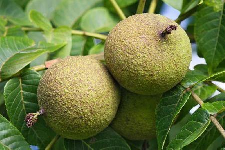 Black Walnuts (Juglans nigra) also known as American Walnuts