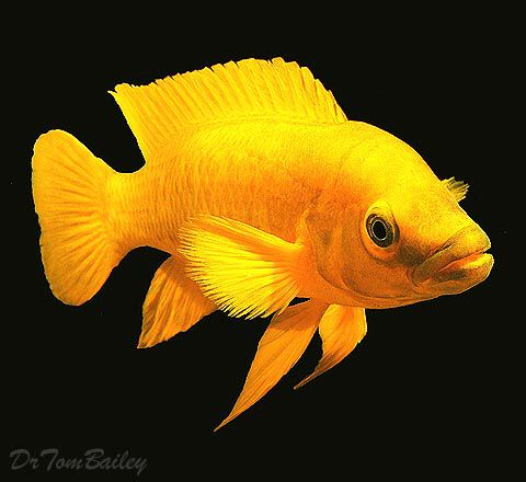 Neolamprologus leleupi, the lemon cichlid. From Lake Tanganyika. A beautiful fish, particularly if fed carotenoid-rich color foods.
