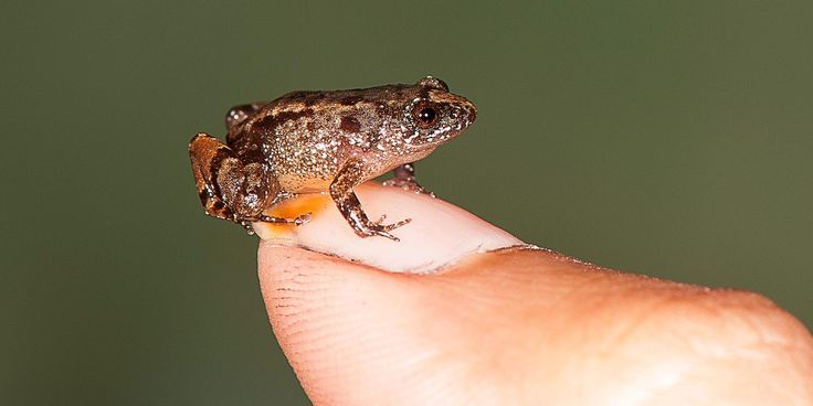 7 new tiny frog species discovered. The tiny amphibians, which live in India's diverse Western Ghats, proved tricky to track down.