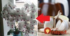 Dokonca aj dieťa vie, že cesnak má veľa užitočných vlastností.Avšak, nie všetci majitelia orchideí vedia, že aj pre ich rastlinky môže byť cesnak extrémne užitočný.Cesnak totiž podporuje a predlžuje fázu kvitnutia orchideí. Ak chcete, aby orchidea