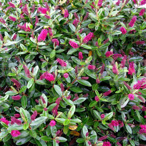 Pin On Plants For Coastal Gardens