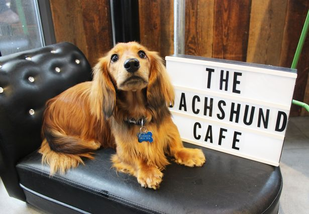 A Sausage Dog Cafe Is Coming To Manchester Dog Cafe Dachshund Dogs