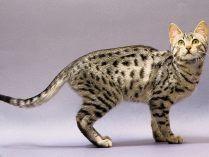 Pequeño gato mau egipcio