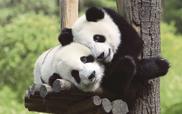 Blog Sensasi: #SENSASI~China Bakal Gunakan Beruang Panda Buat Ra...