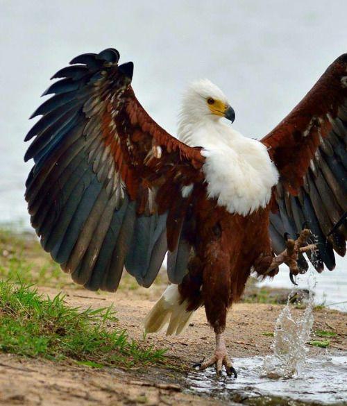Eagle strut…