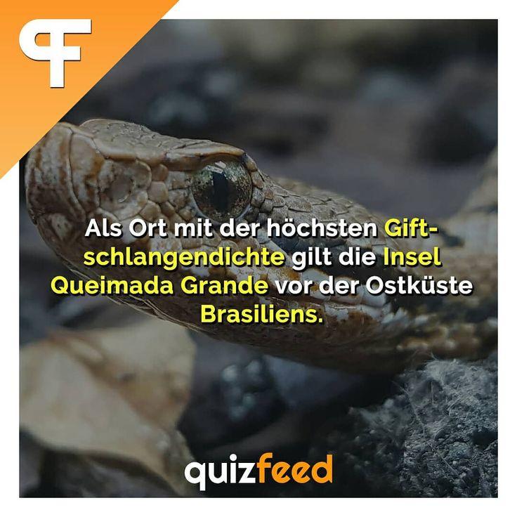 Als Ort mit der höchsten Giftschlangendichte gilt die Insel Queimada Grande vor der Ostküste Brasiliens. Wissen clever verpackt! . #schlange #giftig #Natur #tier #tiere #brasilien #urlaub #reisen – quizfeed