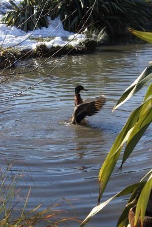 Duck having a bath
