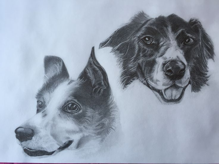 Lily and Wilfie - Collies