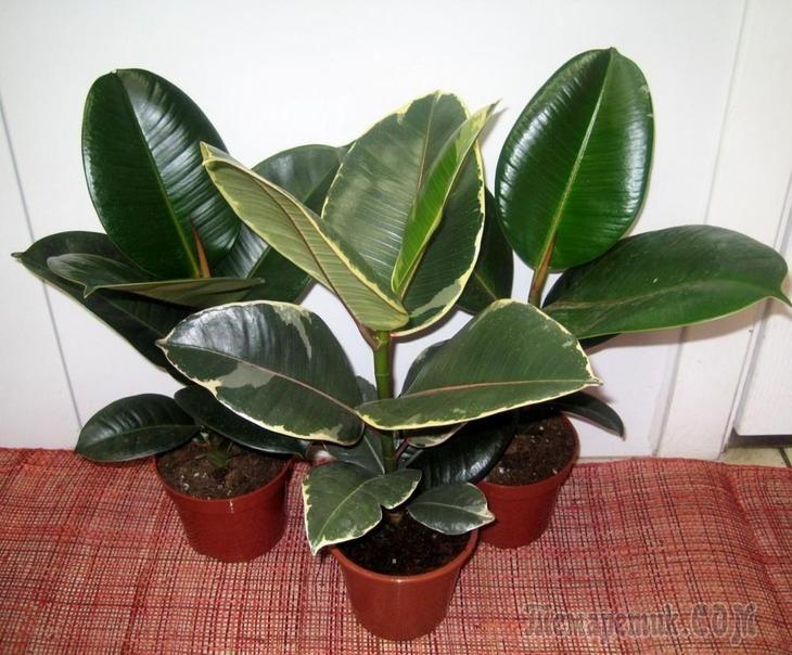 Йод для комнатных растений заметно оздоравливает цветы как подкормка