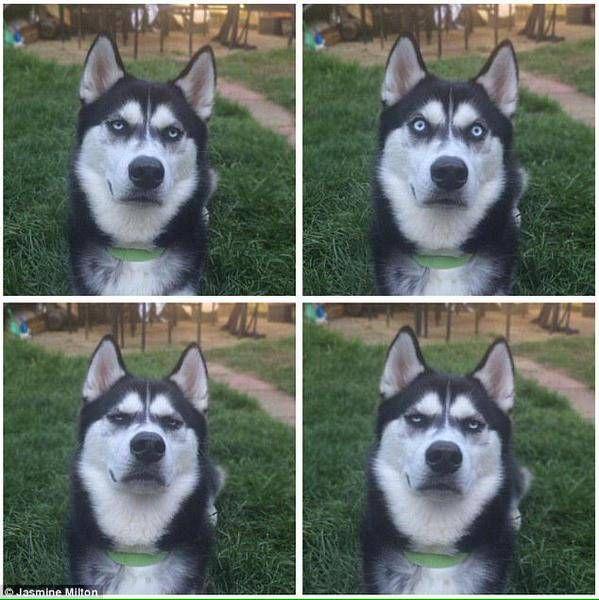 飼い主がボールを投げるふりをしただけだとわかったシベリアンハスキーの顔