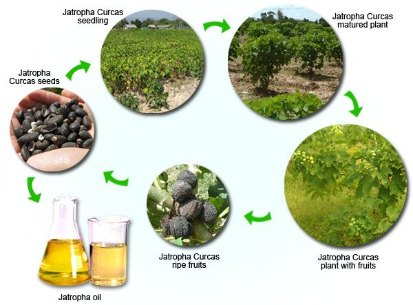 In 2007 Goldman Sachs cited Jatropha curcas as one of the best candidates for future biodiesel production. It is resistant to drought and pe...