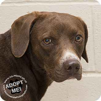 URGENT! I am at a very full, high kill shelter in Troy, OH - Labrador Retriever Mix. Meet Jax, a dog for adoption. http://www.adoptapet.com/pet/17072478-troy-ohio-labrador-retriever-mix