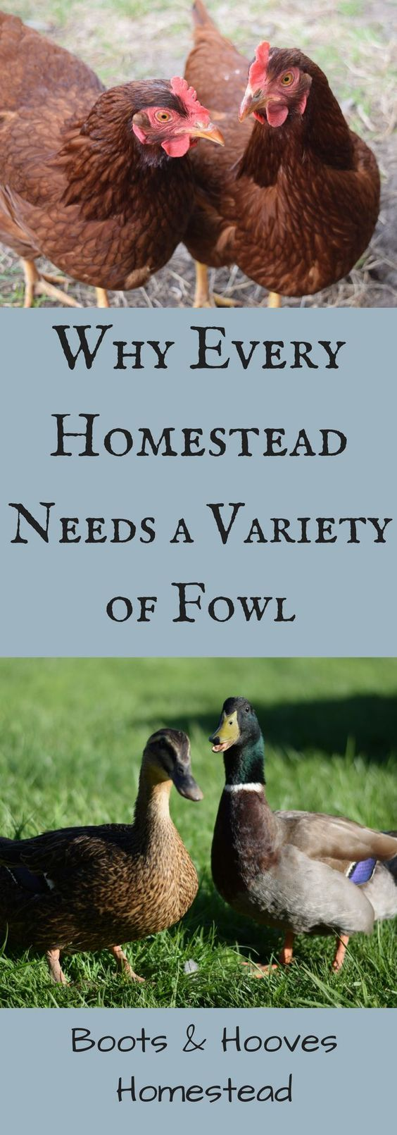 The Benefits of Keeping a Variety of Fowl on the Homestead - Boots & Hooves Homestead