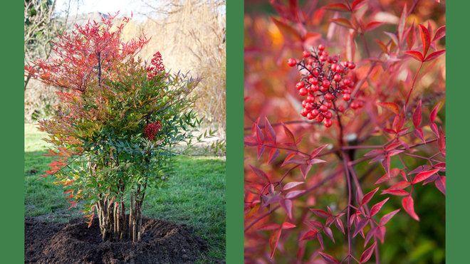 Planter un Nandina en pleine terre   Arbuste, Terre, Jardins