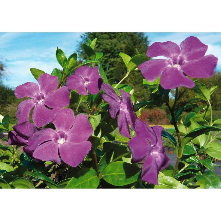 immergr n atropurpurea rotviolett topf ca 9 cm vinca minor bodendecker immergr n