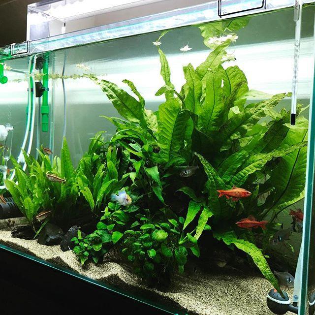 【rayrave_t】さんのInstagramをピンしています。 《一先ずエーハイムのパイプで応急処置^^; 水草全部のかして、ガラス面の苔落としと砂の汚れ取りに全力を費やしました... なんか、増やそうかな~ #アクアリウム #aquarium #熱帯魚 #熱帯魚水槽 #ADA#エーハイム》