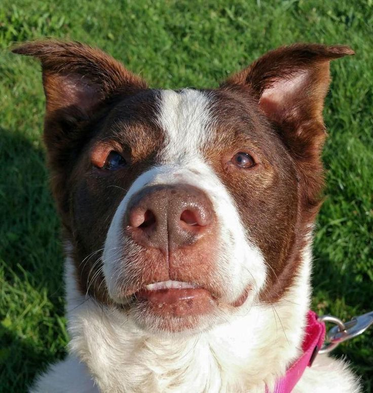 Meet LANCE, an adoptable English Springer Spaniel looking for a forever home. If you're looking for a new pet to adopt or want information on how to get involved with adoptable pets, Petfinder.com is a great resource.