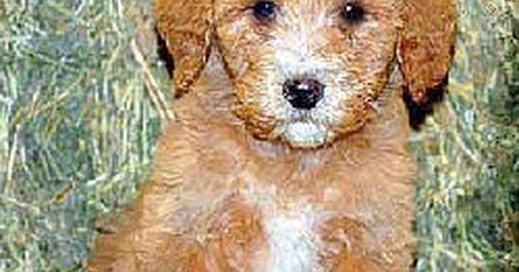 Como adotar um labradoodle. O labradoodles são cães altamente populares, oriundos do cruzamento entre um labrador amarelo ou preto e um poodle comum. Já que ambas as raças possuem cores e formas variadas, nem todos os labradoodles possuem uma descrição física padrão. A maioria possui pelos densos e ondulados, podendo pesar entre 11 e 40 kg. Conhecidos por serem amistosos e ...