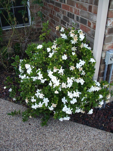 gardenia bush...I have two planted under my back bedroom windows