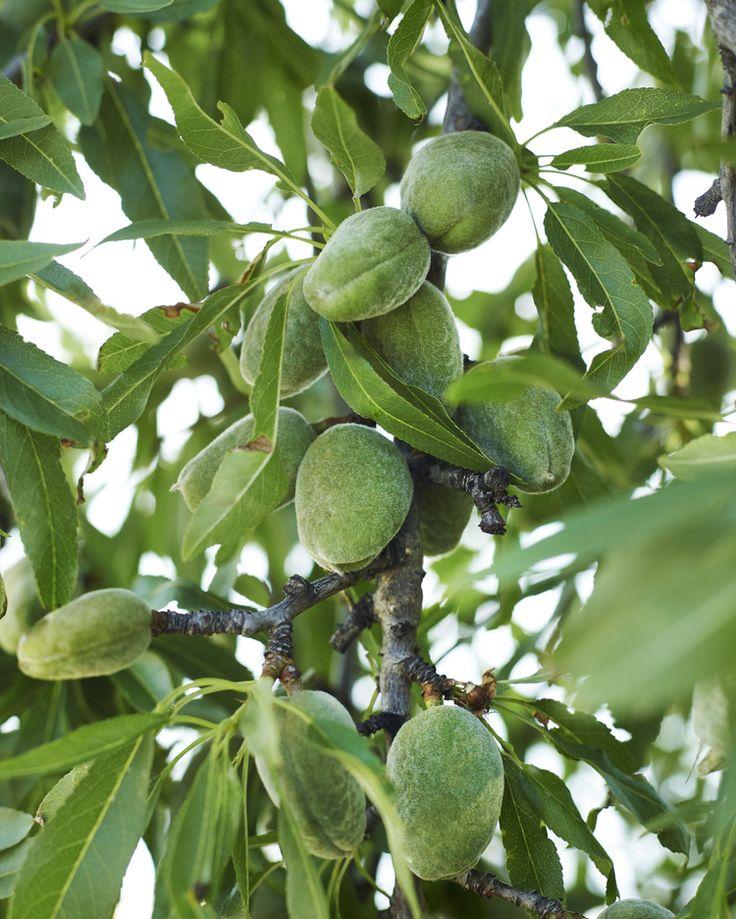 black almond tree removal - 736×919