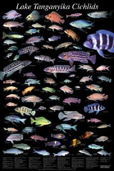 picture of Tanganyika Cichlids Poster