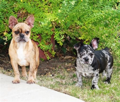 Blue Merle French Bulldog With Images Merle French Bulldog Dog Obsessed Cute Animals