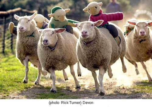 Sheep Racing #loveit