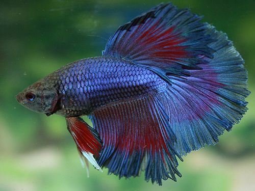 84 best images about fish flashcards on pinterest for What fish are compatible with betta fish