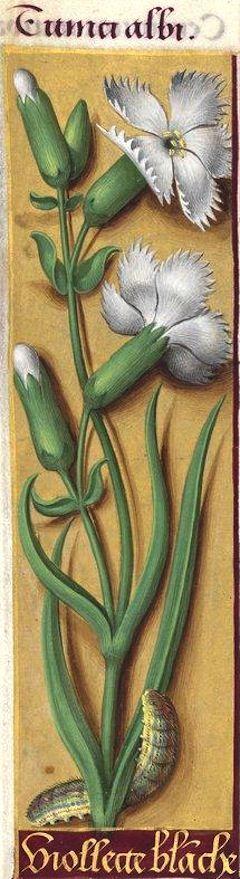 Viollecte blanche - Tunici albi (Dianthus caryophyllus L. = œillet simple, blanc) -- Grandes Heures d'Anne de Bretagne, BNF, Ms Latin 9474, 1503-1508, f°63v